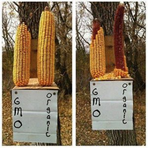squirrels-prefer-organic-corn-over-GMO