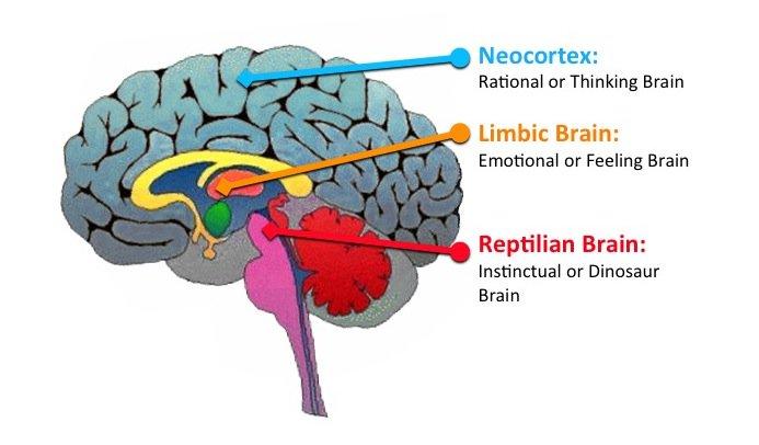Limbic brain real wellness doc limbic brain ccuart Gallery
